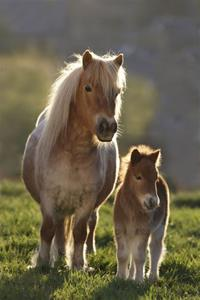 Pony / Miniature Horse Saddles
